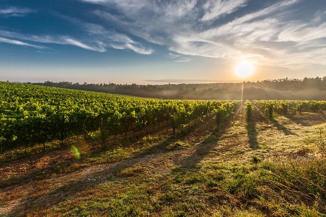 Sector del vino - viñedo