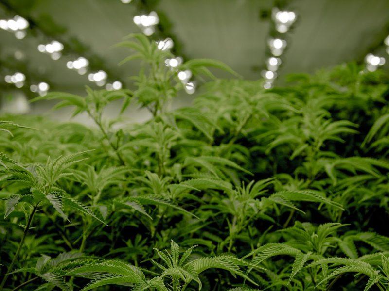 Cannabis en Colombia: ¿El nuevo oro verde?